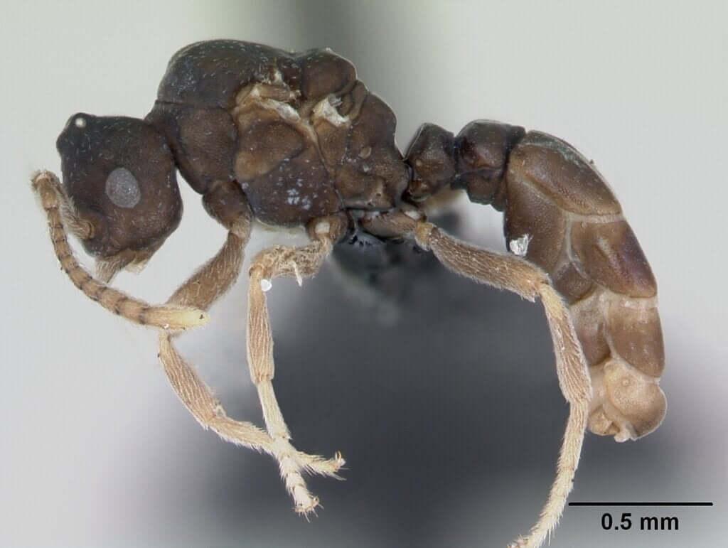 As formigas Anergates atratulus e seu incrível comportamento