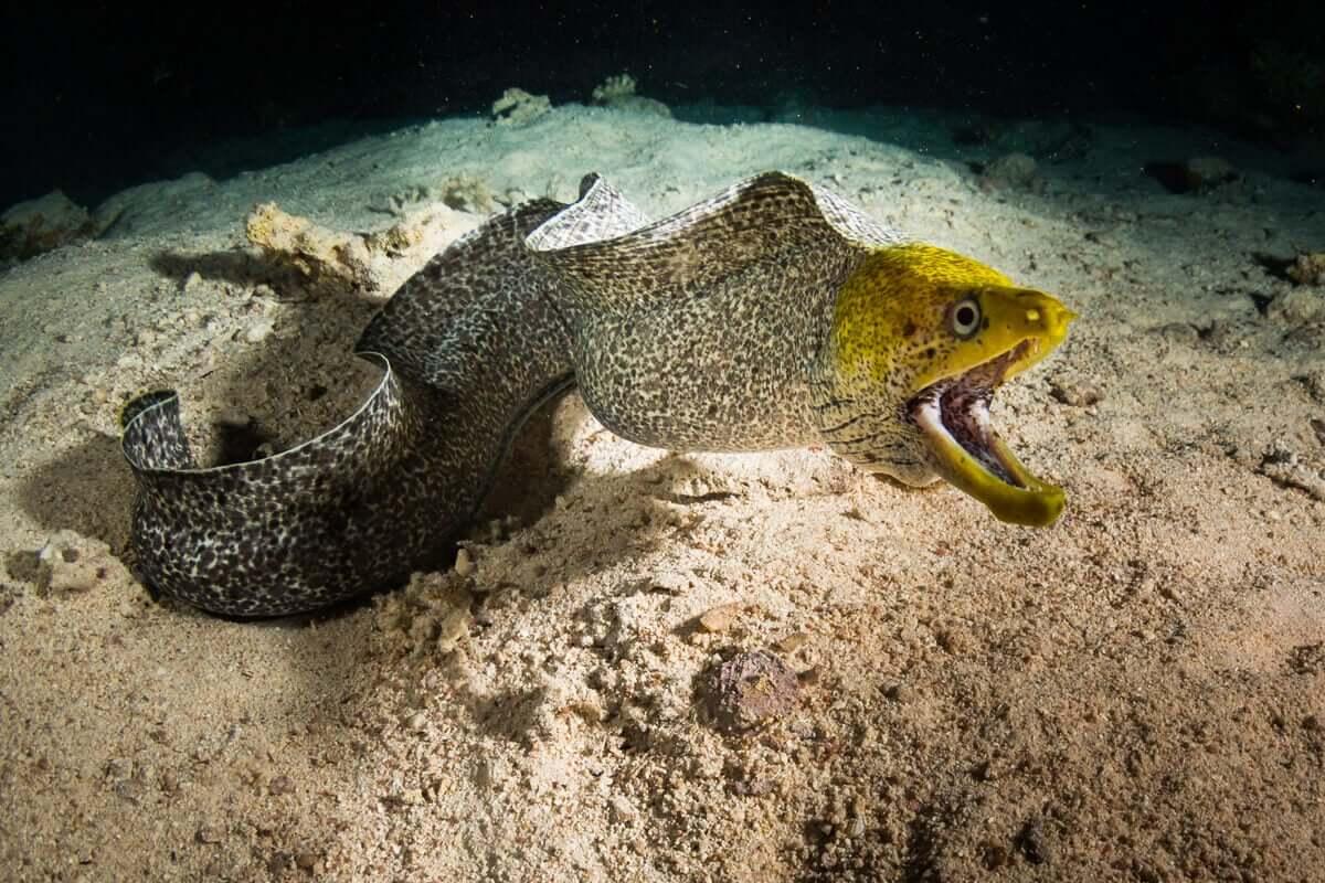 Os peixes anguiliformes: o congro, a enguia e a moreia