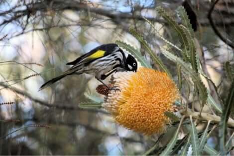 aves sugadoras de néctar que você talvez não conheça