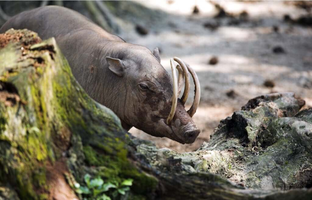 O babirussa: origem e habitat