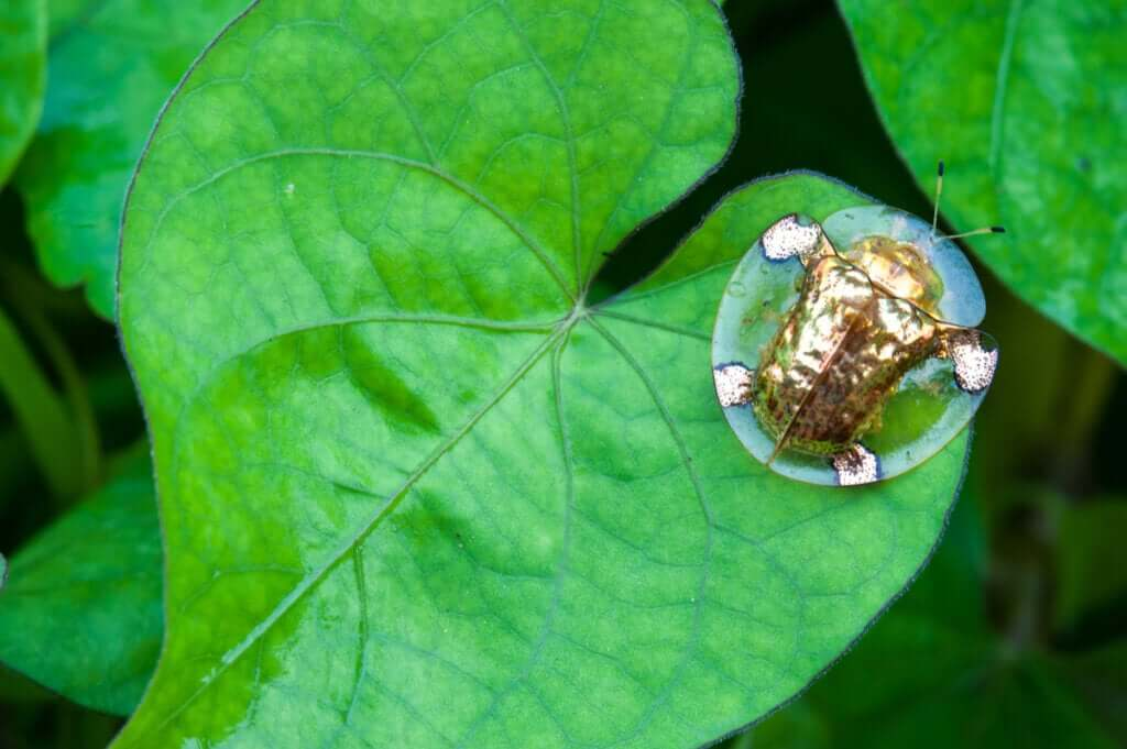 Tudo sobre o besouro-de-ouro