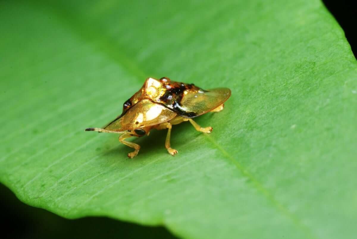 Detalhes sobre o besouro tartaruga dourada