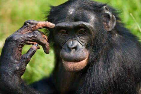 diferenças entre chimpanzés e bonobos