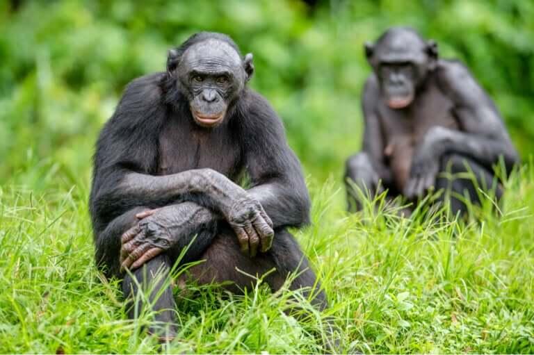 As cinco diferenças entre chimpanzés e bonobos