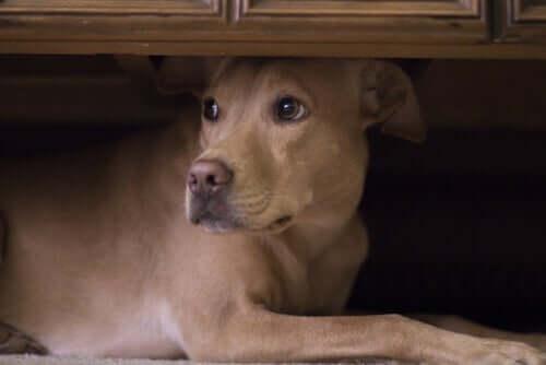 Melatonina para cães: potenciais efeitos colaterais