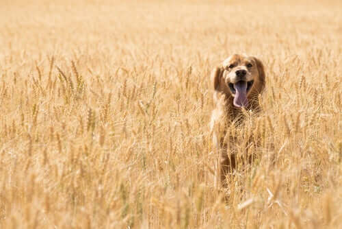 Cuidados com o glúten na comida para cães
