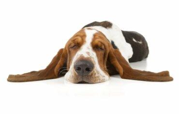 O que é a narcolepsia canina?