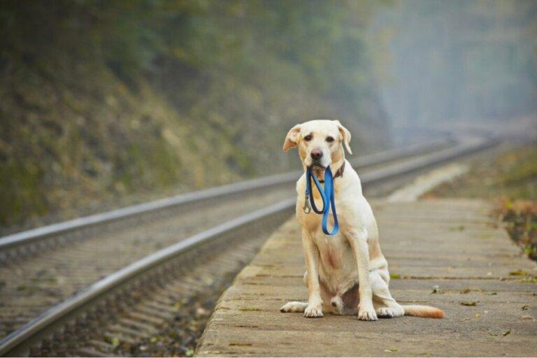 Um cachorro perdido anda 80 quilômetros até chegar em casa