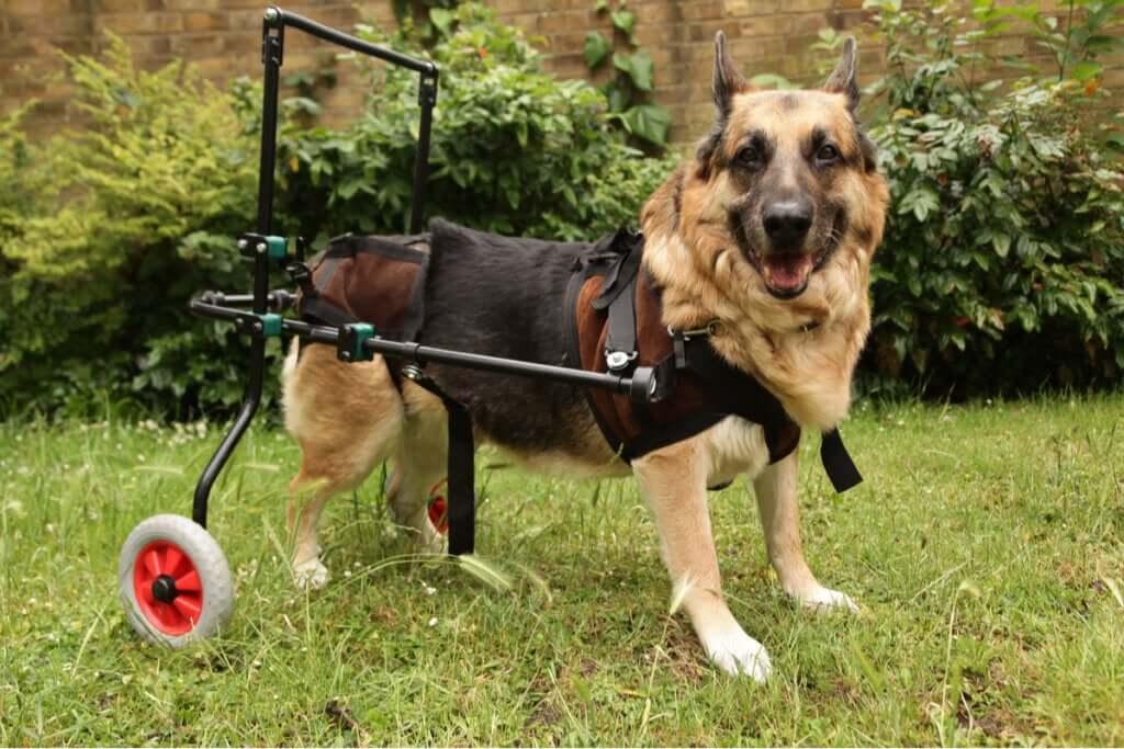 Doenças autoimunes em cães: o que é necessário saber?
