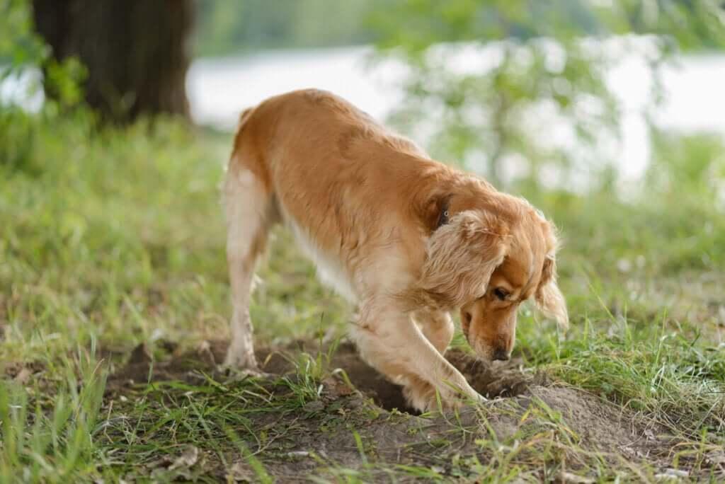Por que os cães enterram a comida?