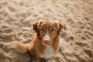 Lúpus em cães: causas e sintomas