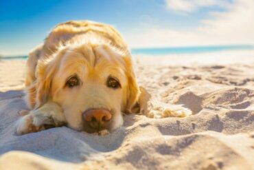 Saiba mais sobre a dermatite solar em animais de estimação