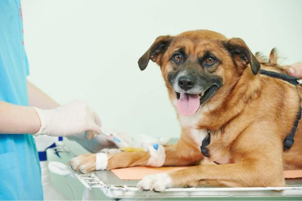 O que são as trombofilias em cães?