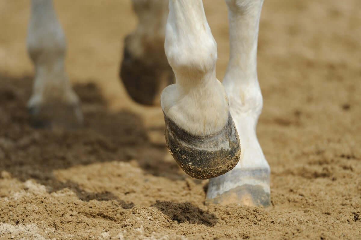 Laminite em cavalos: uma pequena abordagem da anatomia do casco