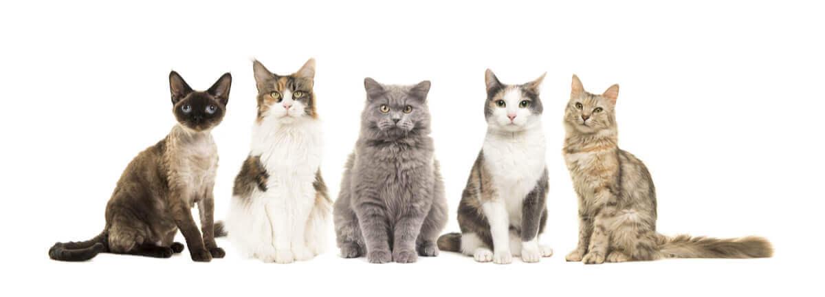 Existem novas raças de gatos?