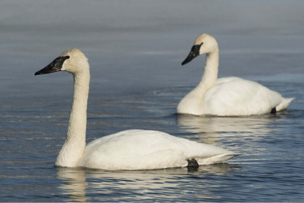 Quais são as características do cisne-trombeteiro?