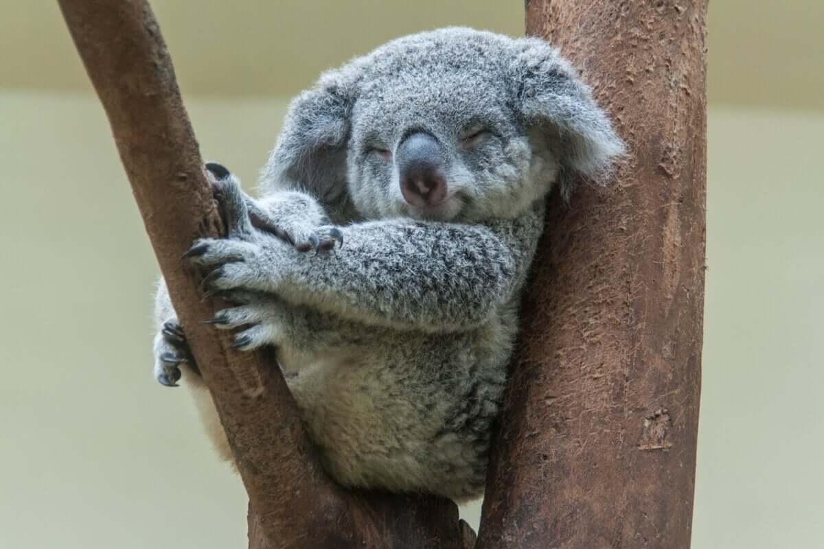 O coala sabe como tirar proveito da água