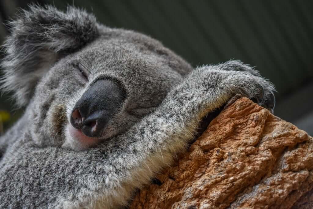 O coala: um mestre da adaptação ao meio ambiente