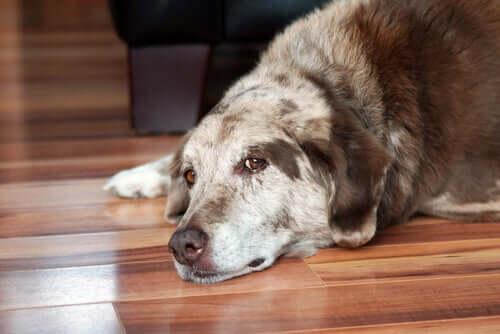 Síndrome de Cushing em cães: detecção e tratamento