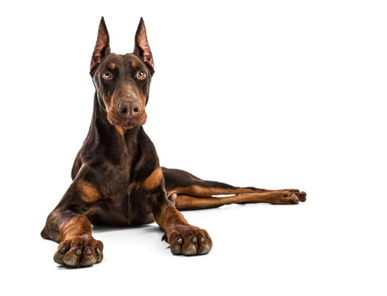 As sete melhores raças de cães de guarda