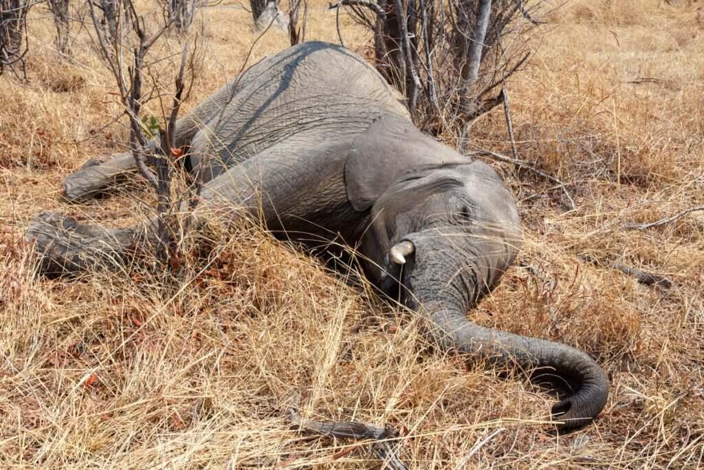 Centenas de elefantes mortos em Botsuana: qual é a causa?