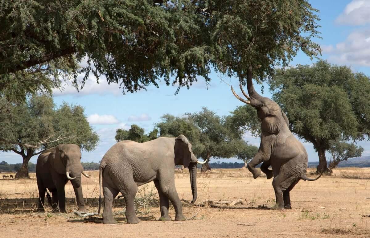 Alimentação dos elefantes: influencia sua saúde?