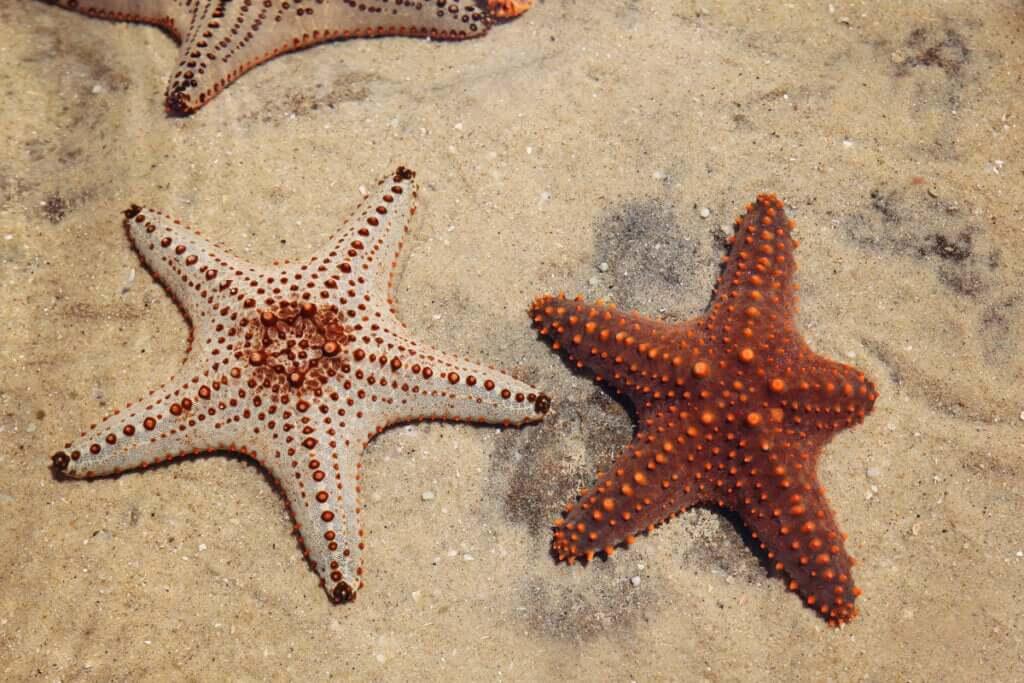 A regeneração em estrelas-do-mar: o segredo da vida?