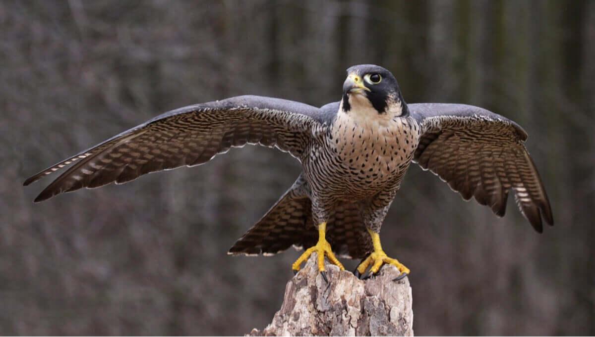 Aves de rapina diurnas, as rainhas das montanhas