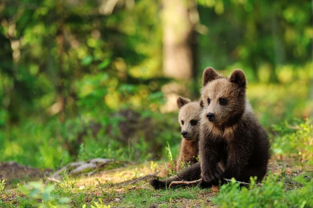As fêmeas de urso-pardo