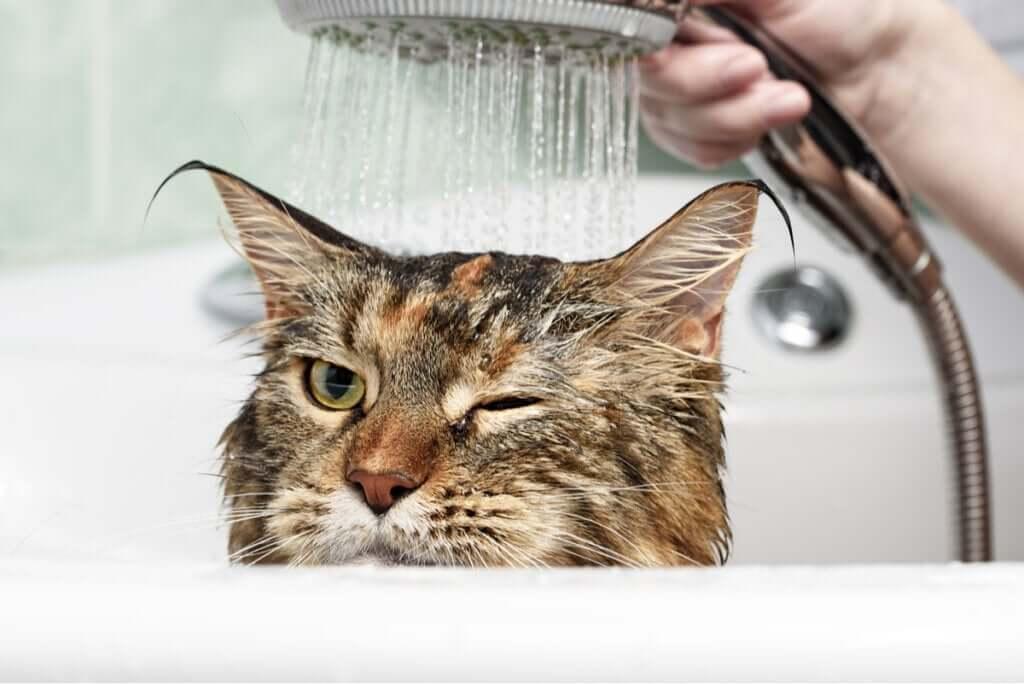 Por que os gatos odeiam água?
