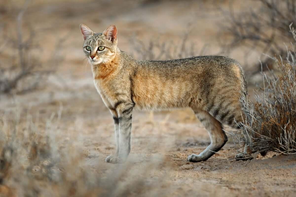 Sobre a história evolutiva dos gatos