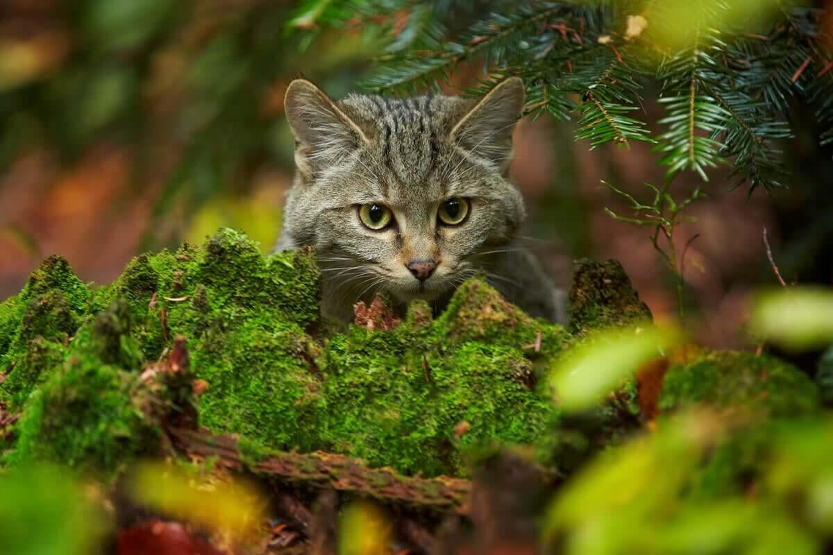 O plano de recuperação para salvar o gato selvagem escocês