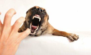 Significado da linguagem do rosnado canino