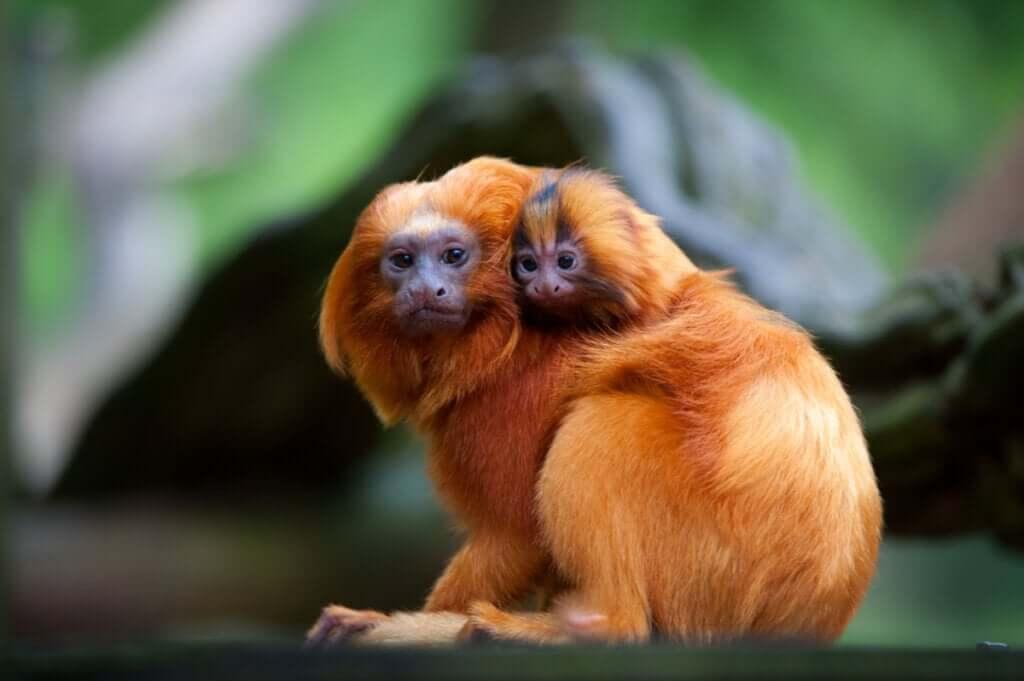 O mico-leão-dourado: entre ameaças e benfeitores