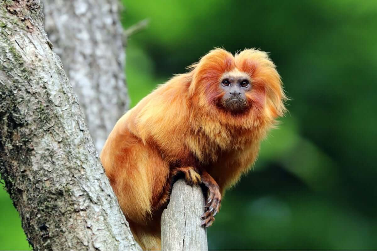 Onde habita o mico-leão-dourado?