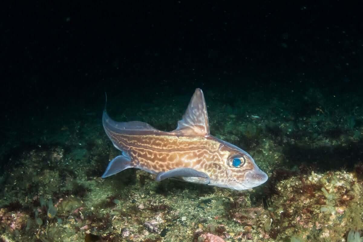 O peixe quimera
