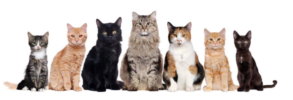 Quantas raças de gatos existem?