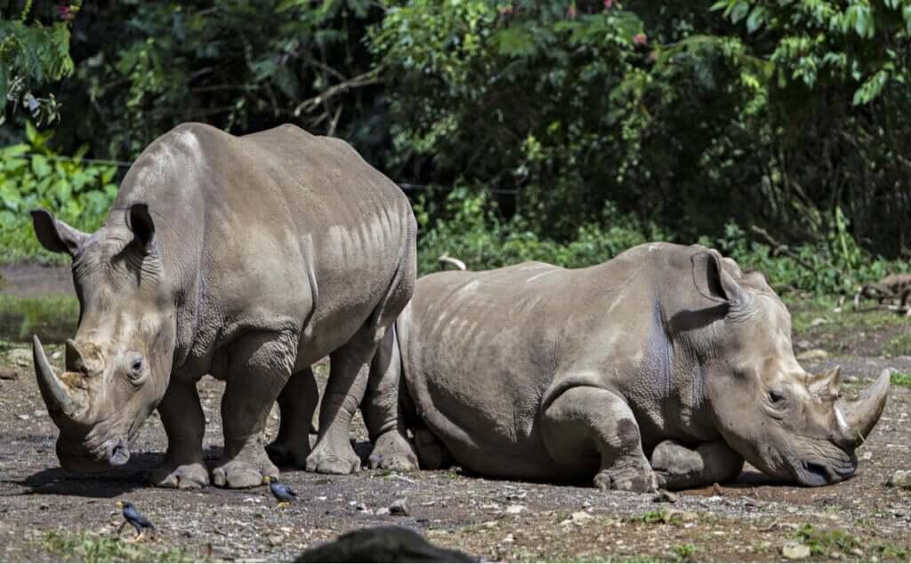 Alimentação e características do rinoceronte-de-java