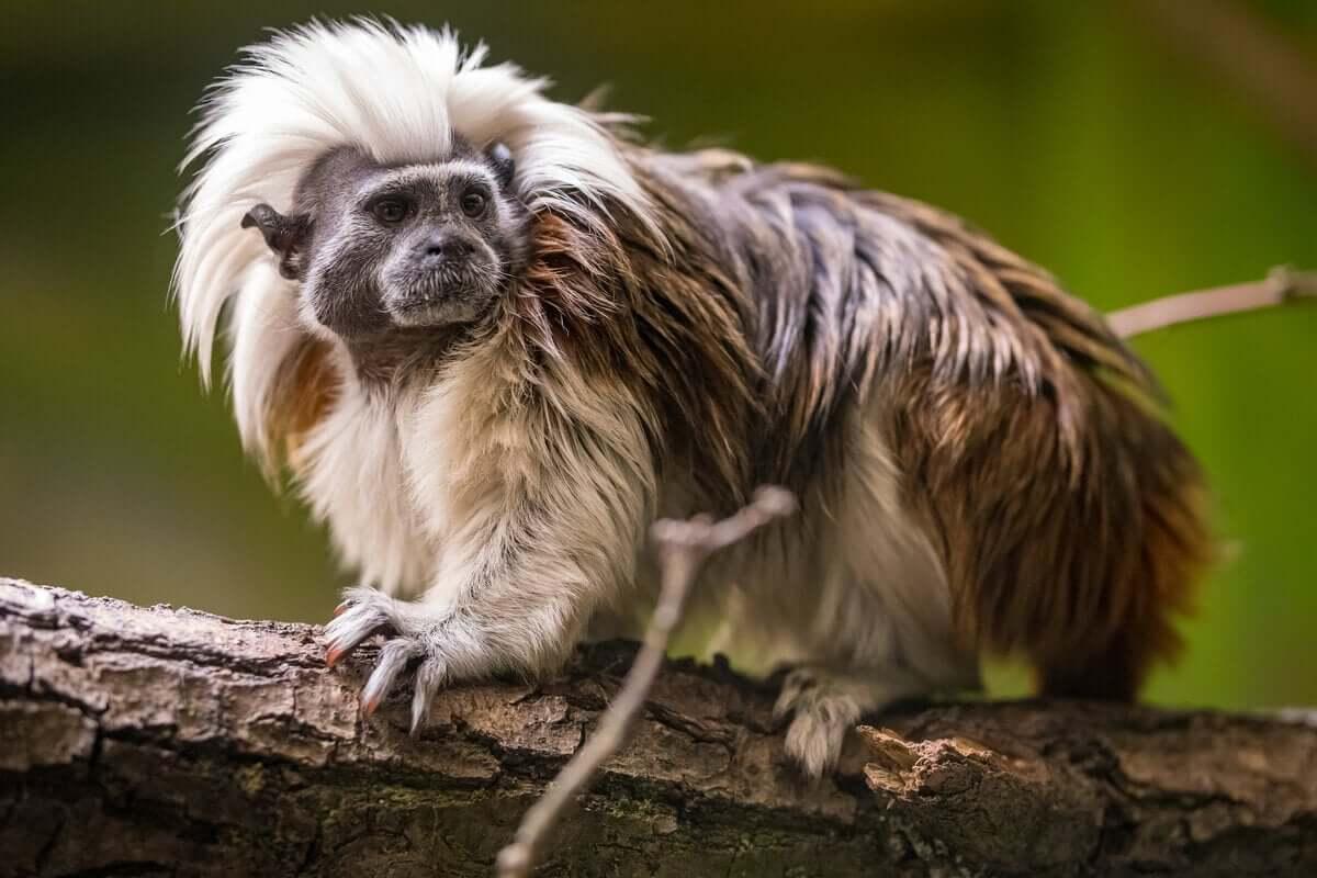 O sagui-cabeça-de-algodão: seus hábitos diurnos e territoriais