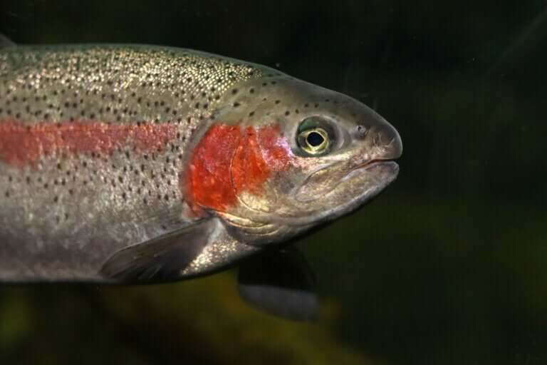 A truta arco-íris, um salmonídeo multicolorido