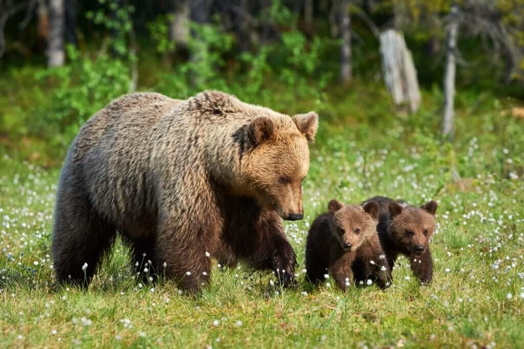 Como as ursas cuidam dos seus filhotes?