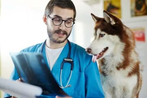 Paralisia de laringe em cães