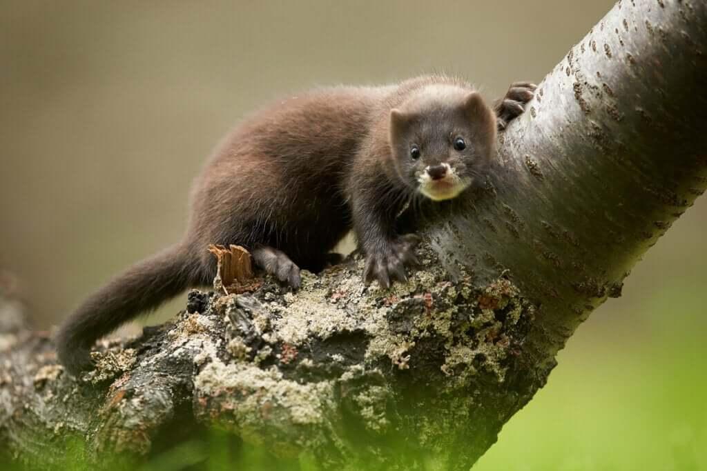 Vison-europeu: um mamífero gravemente ameaçado