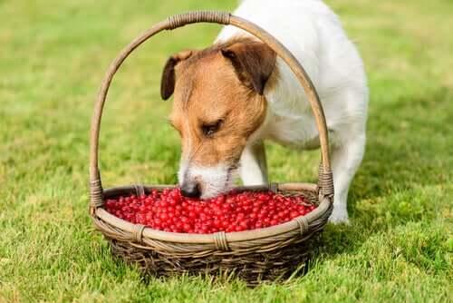 Benefícios das bagas de goji para cães