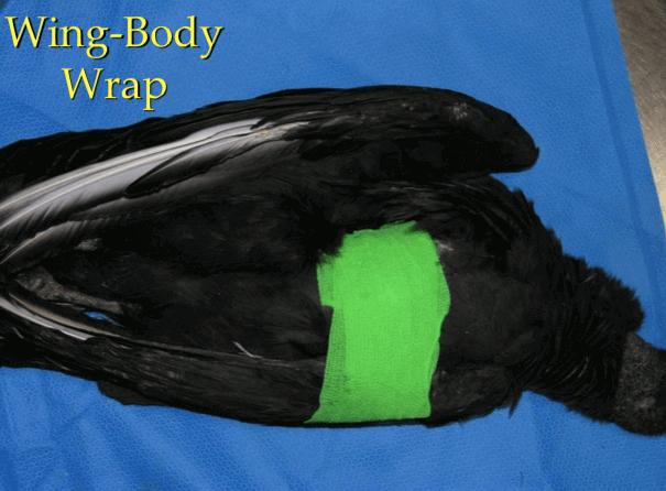 Bandagem da asa no corpo