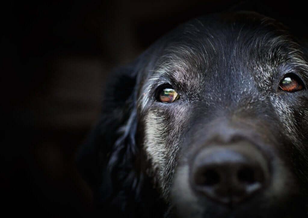 Demência senil em cães: o que diz a ciência?