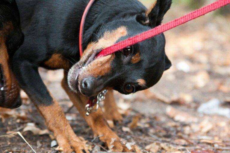 O que fazer se o seu cachorro morder a guia?
