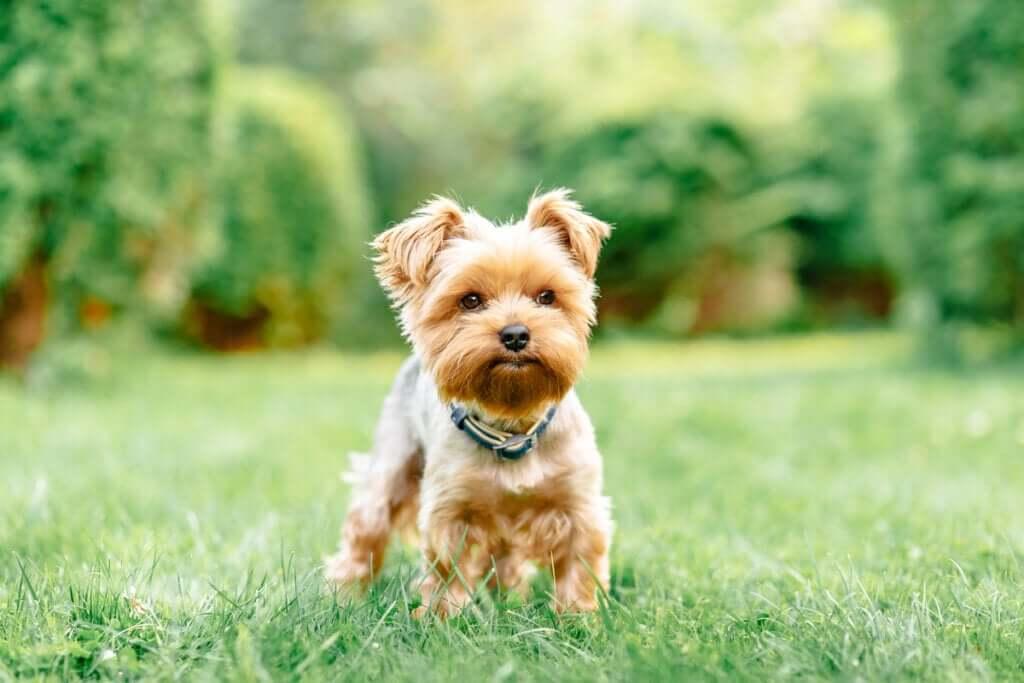 Quatro doenças comuns em raças de cães de pequeno porte