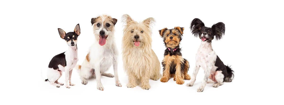 Quatro doenças comuns em raças de cachorro de pequeno porte
