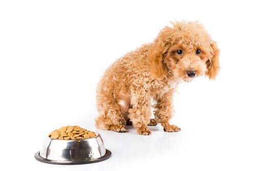 6 razões pelas quais um cão não engorda